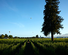 Air balloons Over Vineyards